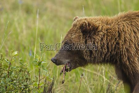 canada yukon territory destruction bay grizzly