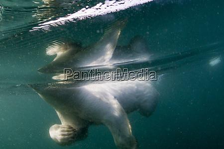 canada nunavut territory repulse bay underwater