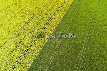 tire tracks in yellow rapeseed field