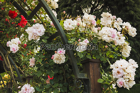 roses in the central rose garden