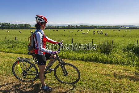 cyclist and sheep in the totara