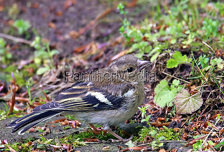 young bookfinch fringilla coelebs