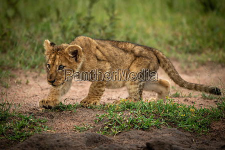 lion cub stalking bird on sandy