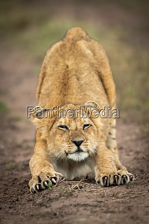 lion cub stretches out with half