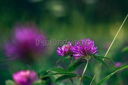 meadow of clover flowers