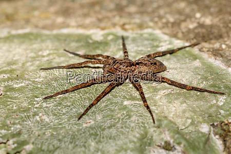 huntsman spider on tree trunk madagascar