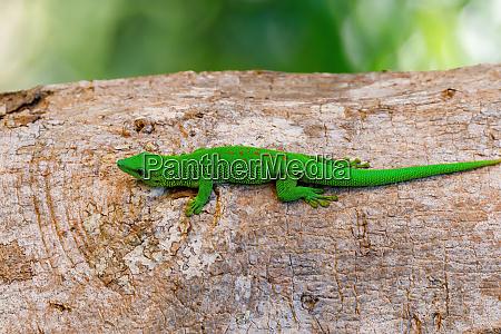 green gecko phelsuma madagascar wildlife