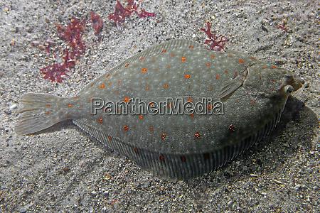 close up plaice pleuronectes platessa