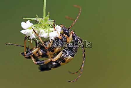 copulation spotted schmalbock rutpela maculata