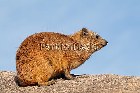 rock hyrax basking on a rock