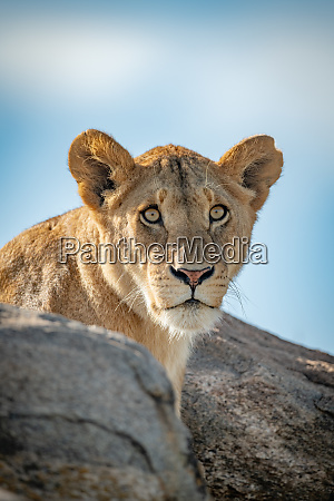 lioness head and shoulders poke over
