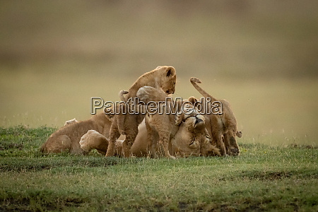 lioness lies on back covered by
