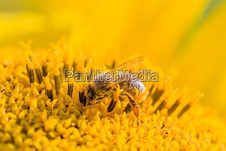 honey bee covered with yellow pollen