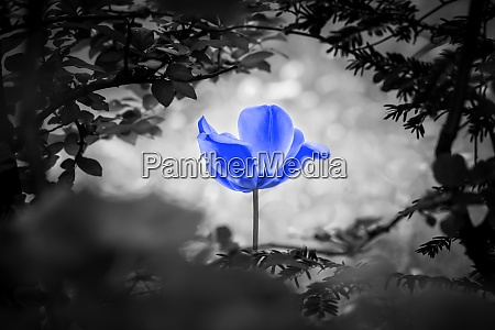 beautiful blue artificial tulip in black