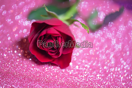 rose over pink abstract background with
