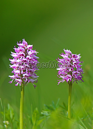 two flowering monkey boy herbs orchis