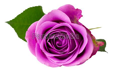 wonderful rose rosaceae isolated on white