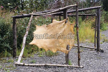 moose hide stretched over wooden rack