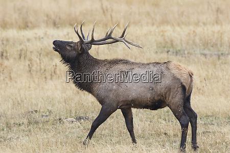 elk, (cervus, canadensis), bull, male, bugling, - 27983512