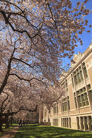 cherry blossoms in peak bloom spring