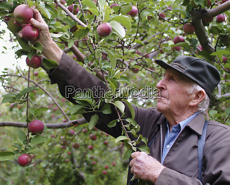 man picking apples wisconsin editorial use