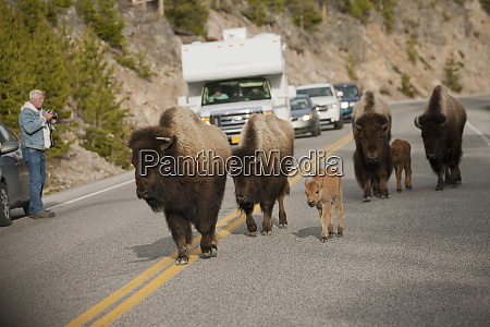 yellowstone national park wyoming usa bison