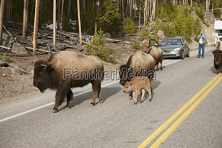yellowstone national park wyoming bison walking