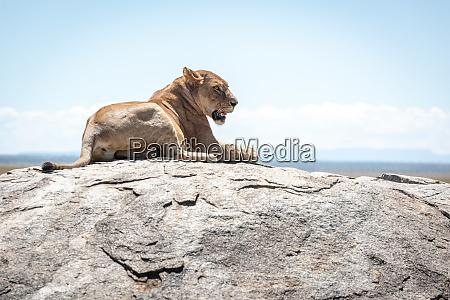 lioness lies on sunlit rock in