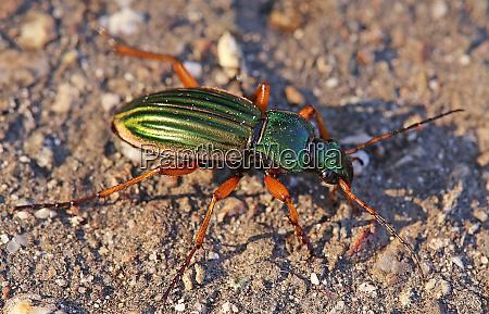 macro golden run beetle or goldsmith