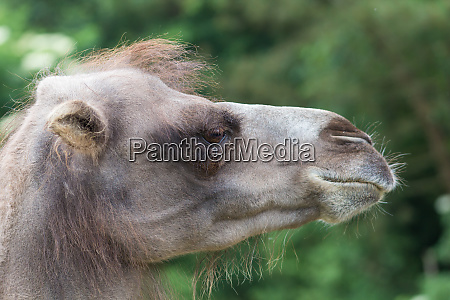 detailed profile of a camels face