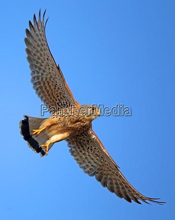 kestrel falco tinnunculus in flight