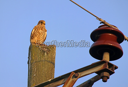kestrel falco tinnunculus on telegraph pole