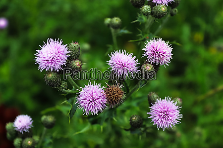 top view of thistle flower heads