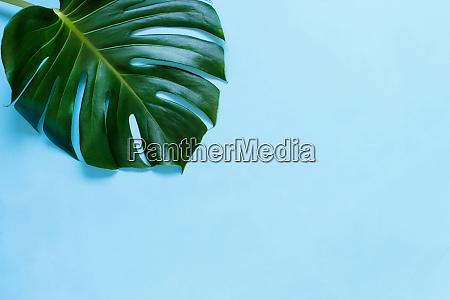 tropical monstera leaf on a