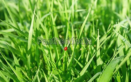 ladybug in the fresh grass among
