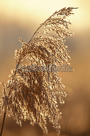 reeds in the evening light