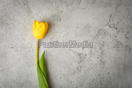 one bright yellow tulip on a