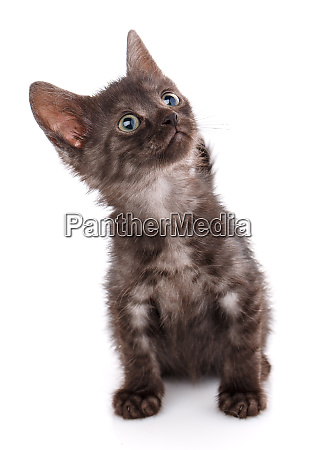 black kitten with blue eyes sitting