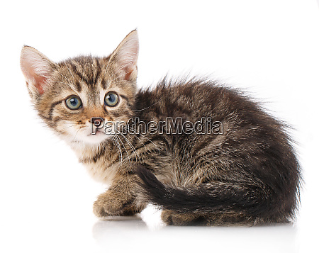 small gray kitten isolated on white