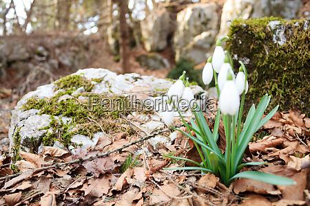 snowdrop flower in woodland close up