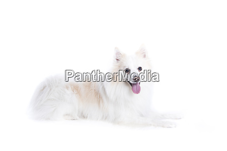 isolated portrait of a german spitz