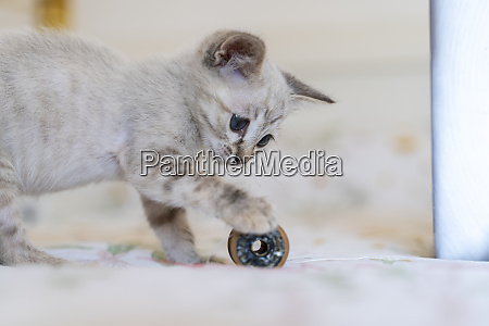 close up of cute kitten playing