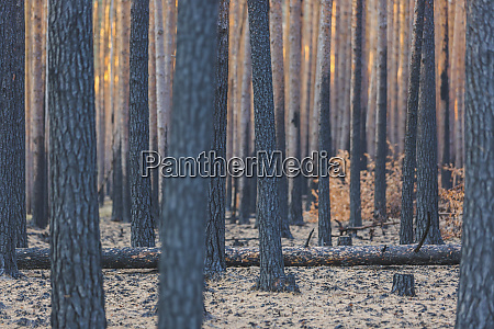 germany brandenburg beelitz pine forest slash