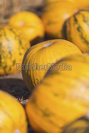 yellow pumpkins on a field