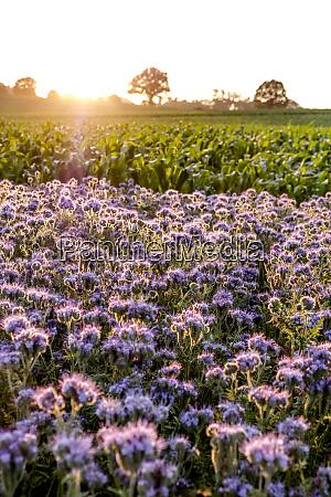 germany schleswig holstein rettin purple flowers