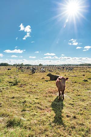 germany lower saxony steinhude cows
