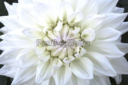 germany saxony close up of dahlia