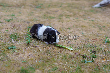 black and white guinea pig cavia