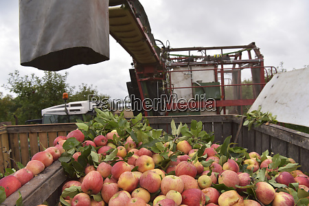 apple harvesting on a plantation harvester