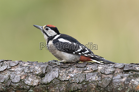 close up of great spotted woodpecker